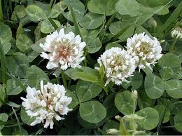 Weed of the Week: White Clover