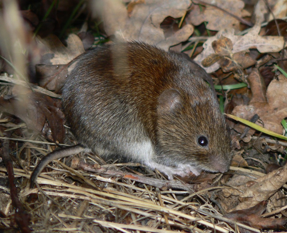 Winter Lawn Tips: Vole Damage