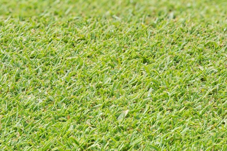 Creeping-Bentgrass-2.jpg