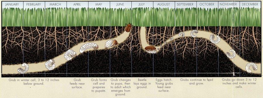 White Grub Control Lawn Services