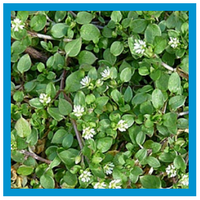 broadleaf-weed-common-chickweed.png
