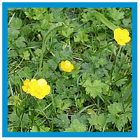 broadleaf-weed-creeping-buttercup.png