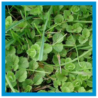 broadleaf-weed-creeping-speedwell.png