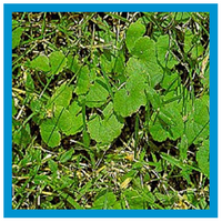 broadleaf-weed-ground-ivy.png