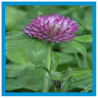 broadleaf-weed-red-clover.png