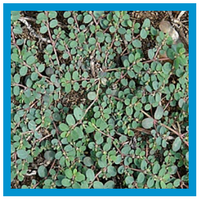 broadleaf-weed-spurge.png