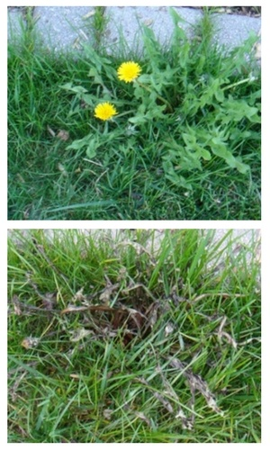 before-after-fiesta-weed-control.jpg