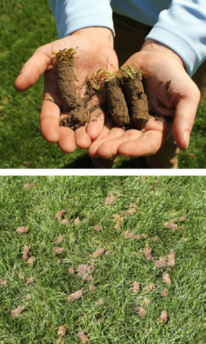 Soil cores in hand and on a lawn