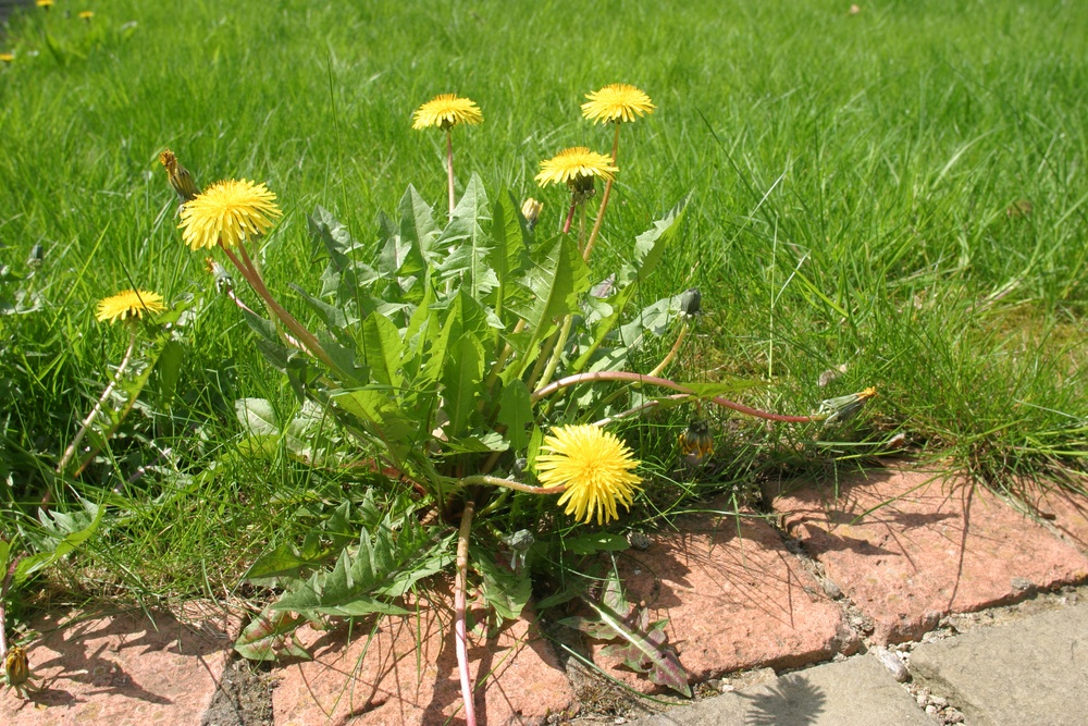 dandelion weed control service