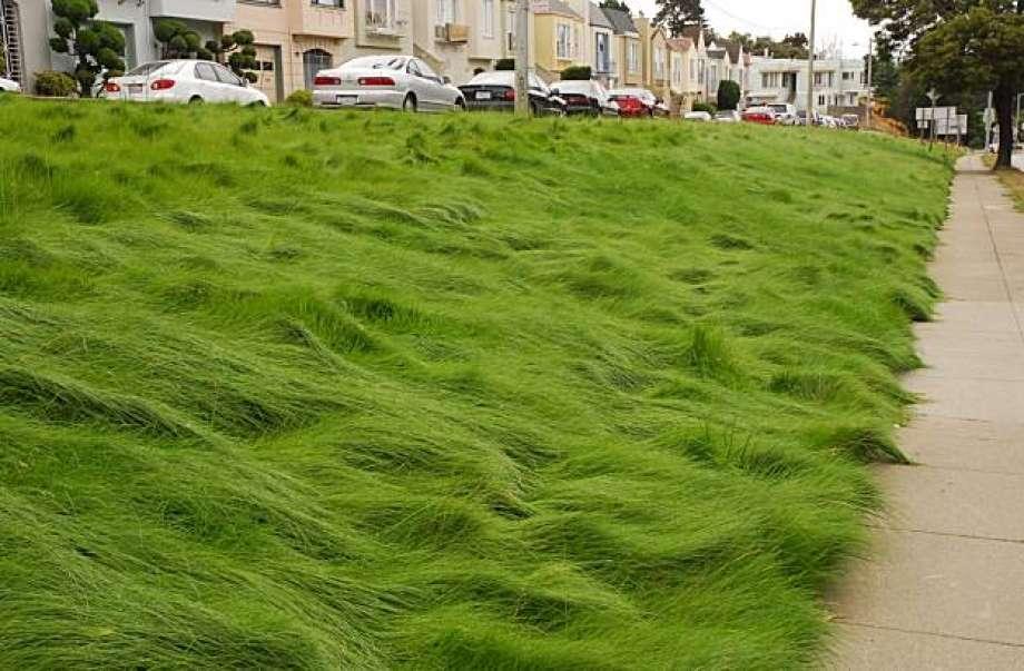 Fine Fescue Grass Type