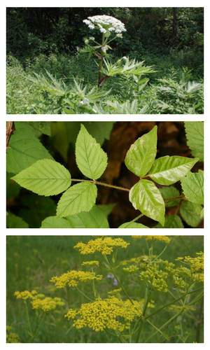 Giant Hogweed, Poison Ivy, and Wild Parnsip