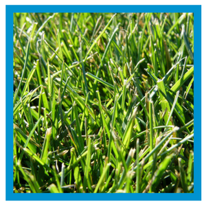 grass-type-tall-fescue.png
