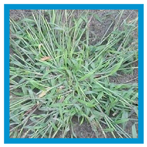 grassy-weed-crabgrass.png