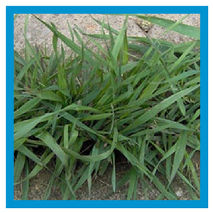 grassy-weed-quackgrass.png