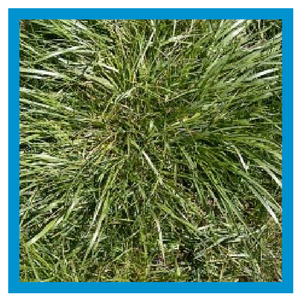 grassy-weed-tall-fescue.png
