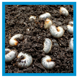insect-control-white-grubs.png