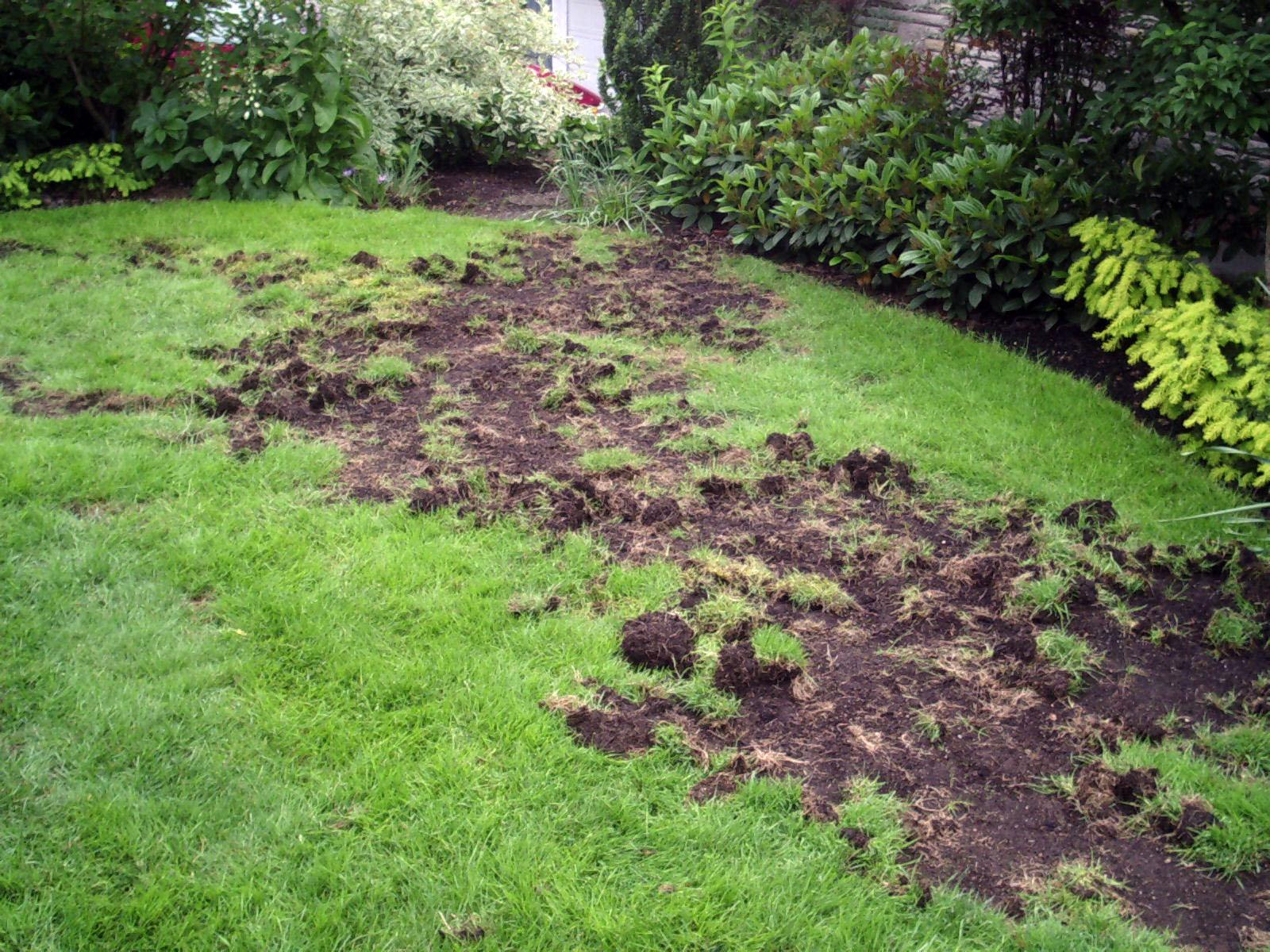 Racoon Lawn Damage