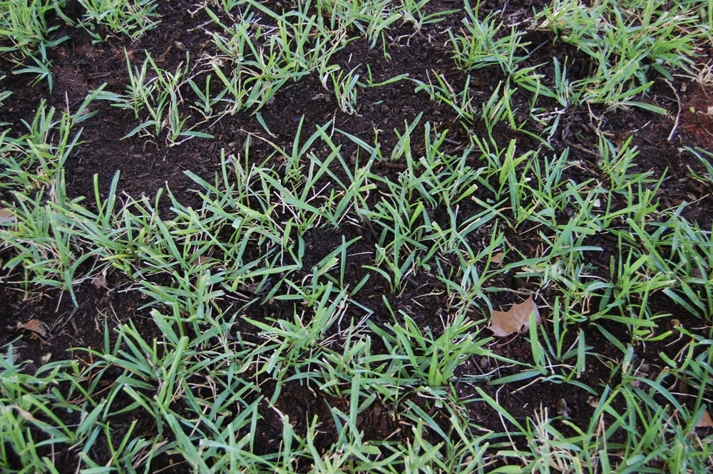 Top Dressing Lawn Close Up