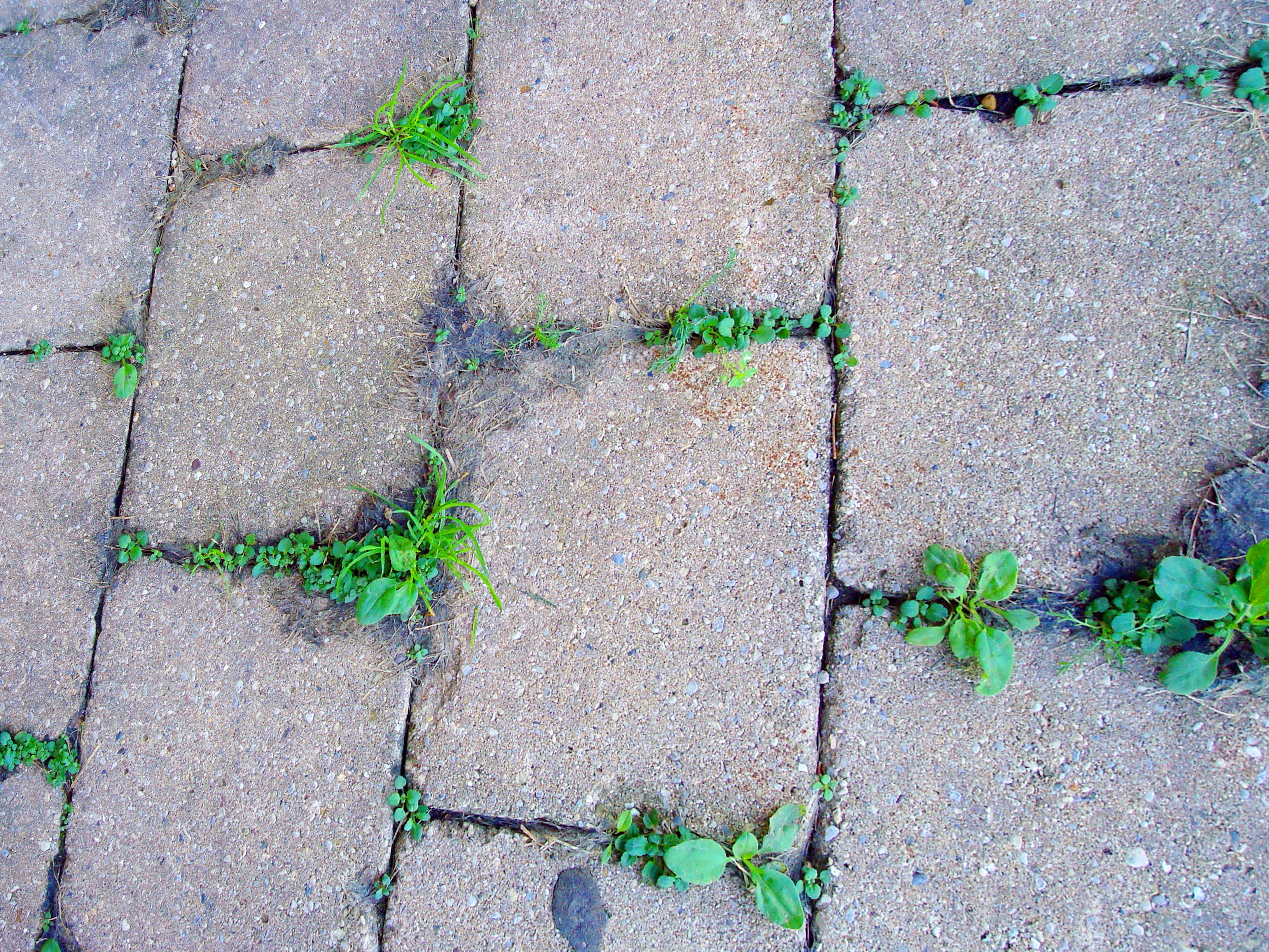 Weeds growing between pavers