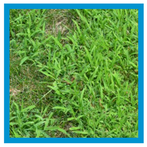 weed-control-crabgrass.png