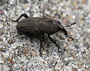 bluegrass billbug