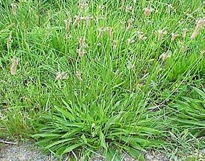 buckhorn-plantain