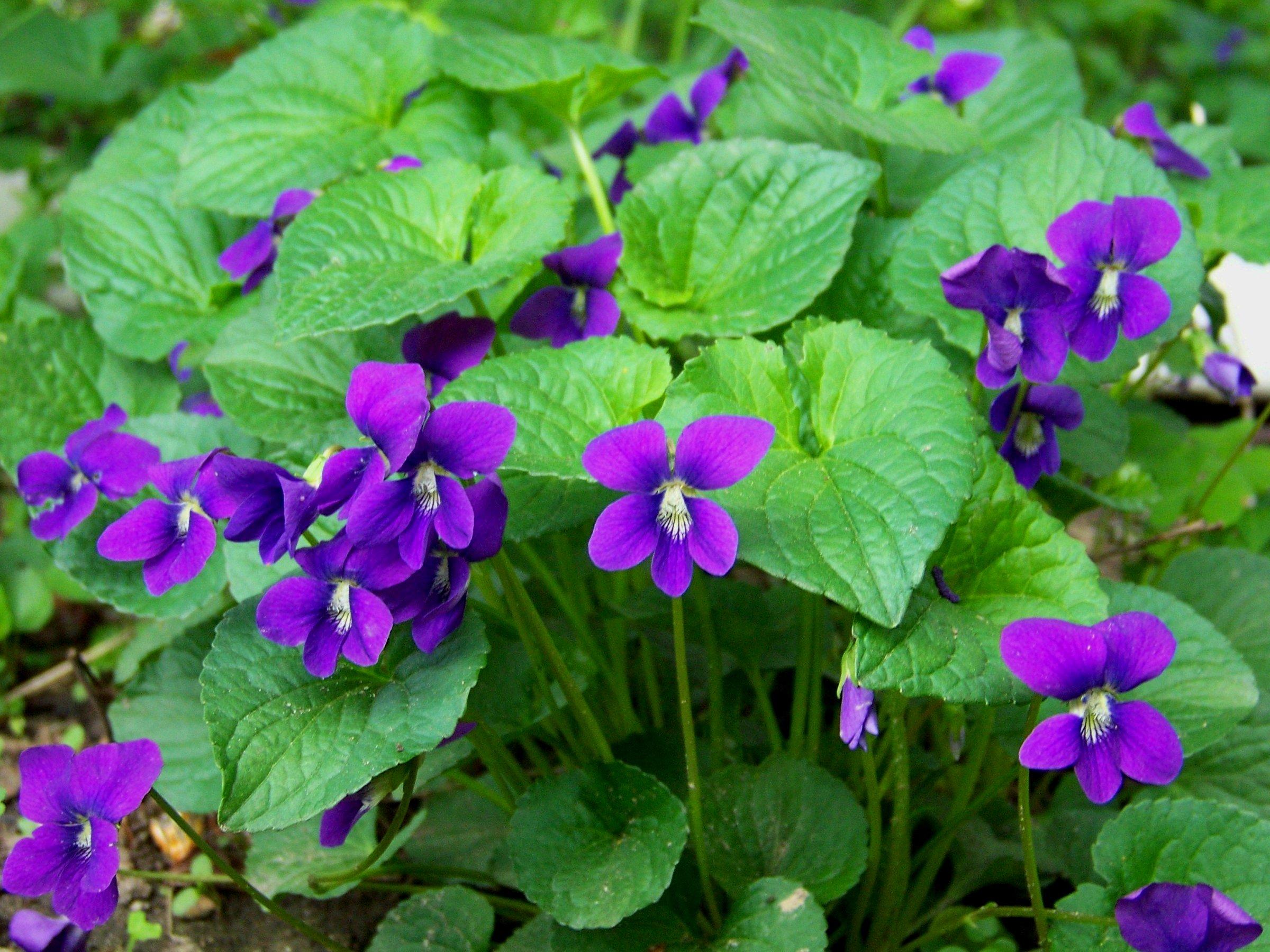 Weed of the Week: Wild Violets