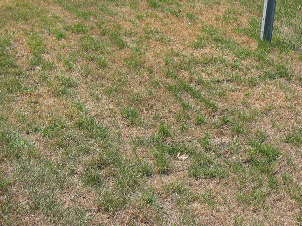 Your Summer Lawn Isn't Dead... It's Dormant - Featured Image