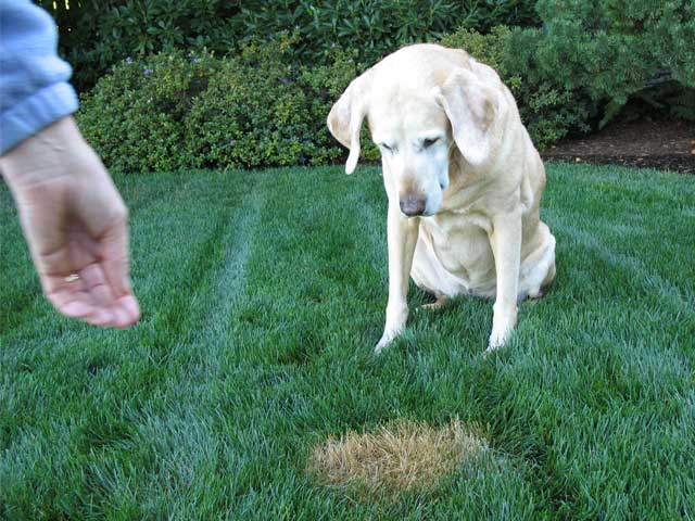 How To Prevent and Treat Lawn Damage By Dog Urine - Featured Image