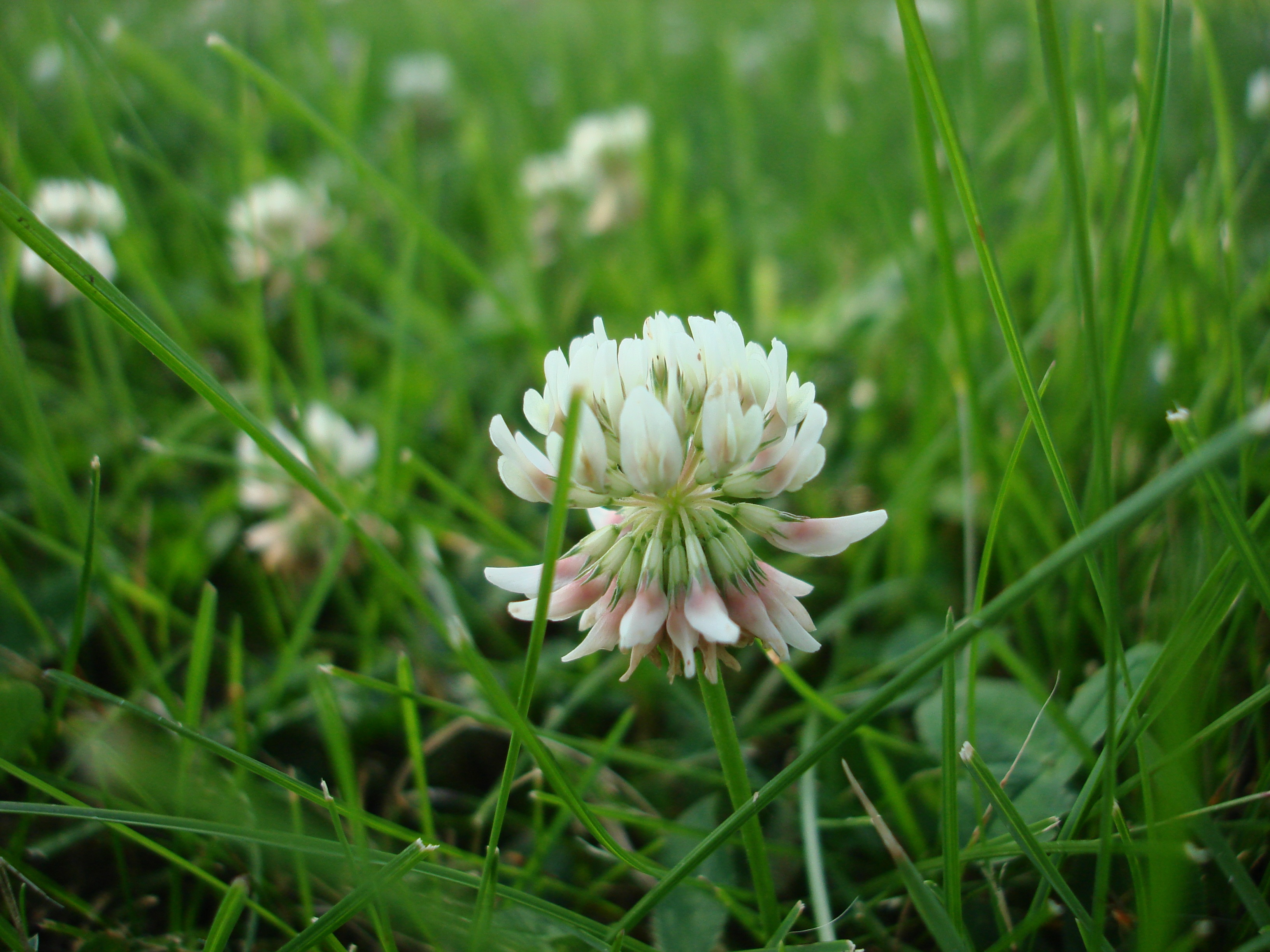 3 Reasons You Have Clover in Your Lawn - Featured Image
